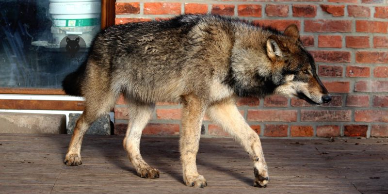 Wolves for Films Running wolf