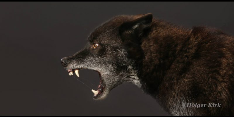 Black wolf snarling for movies