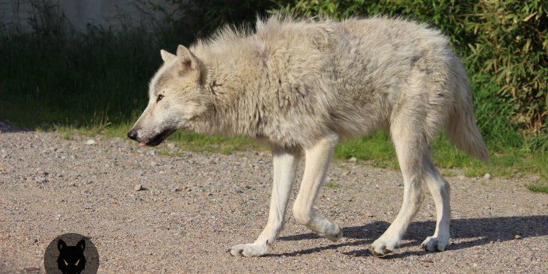 White Film Wolf Filmwolves