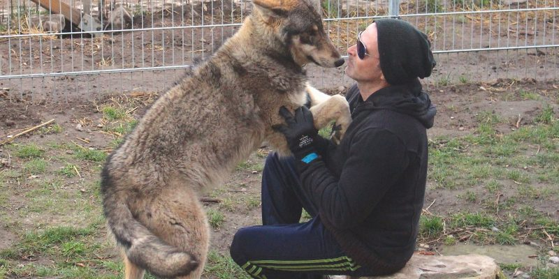 trained Wolves Gray Wolf for movies