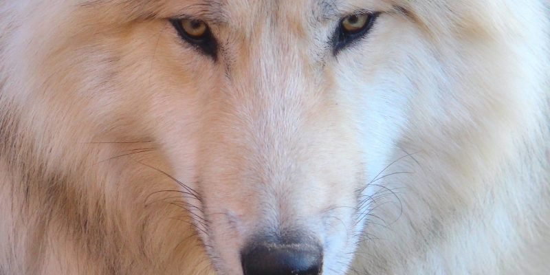 white wolf for movies