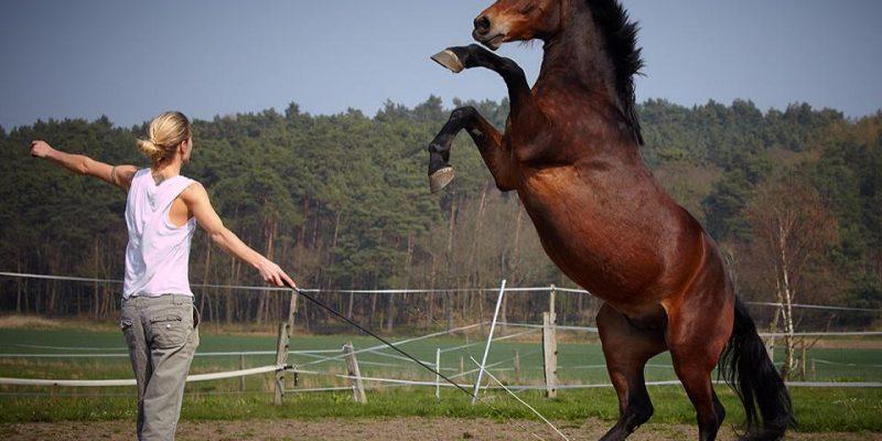 Animal Actors Horses