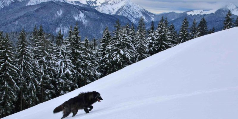 Black wolves for films in the mountain