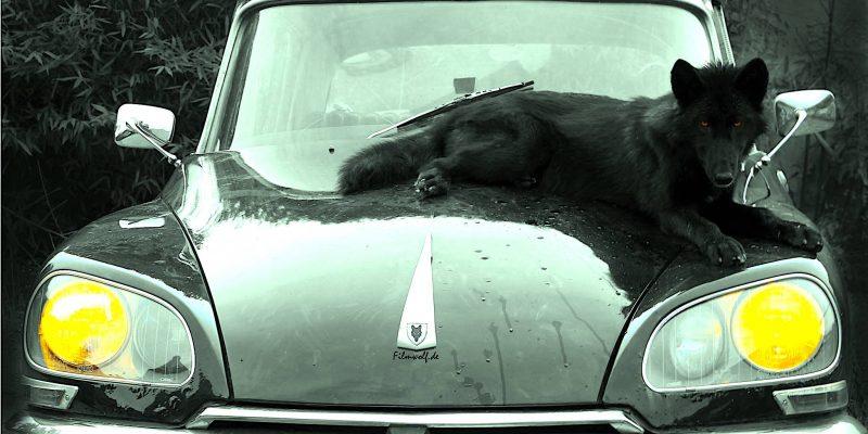 Black Wolf on car