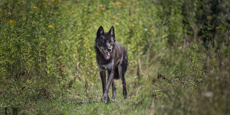 black wolf running