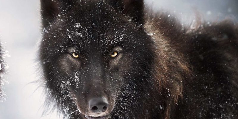 black Wolf for films
