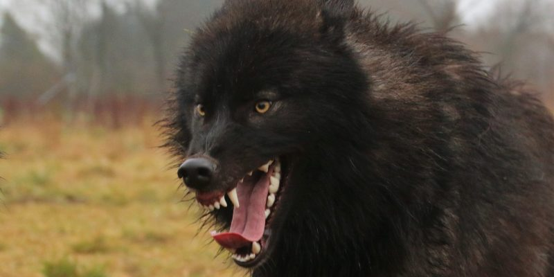 Wolves for Films wolf snarling