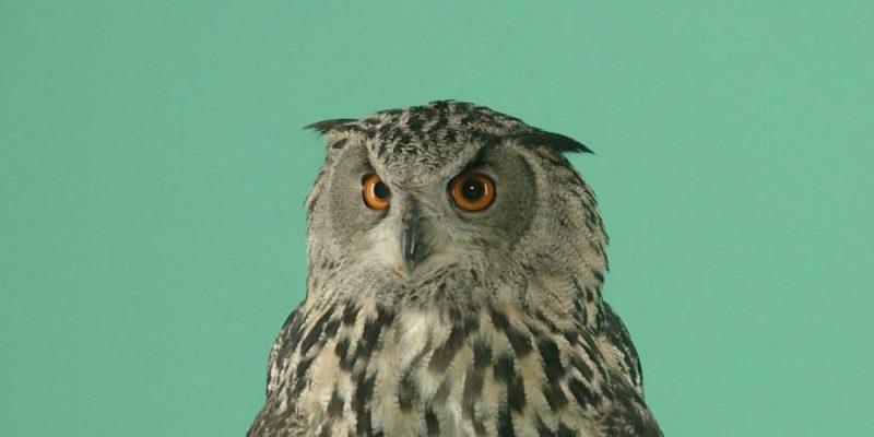 Green Screen Owl