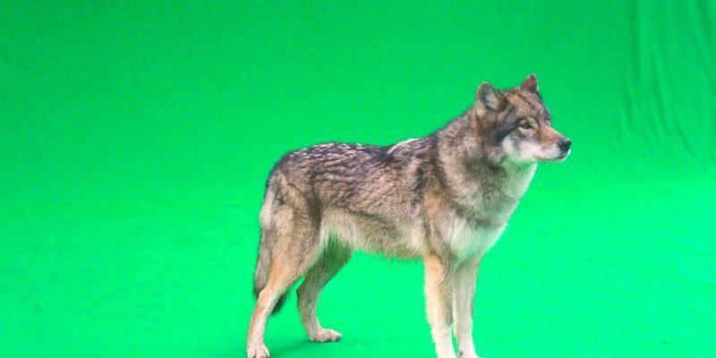Green Screen Wolf