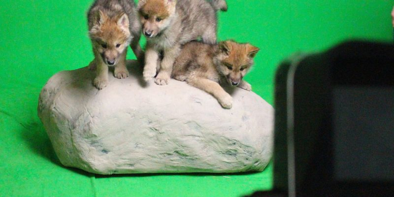 Green Screen Wolf Puppies