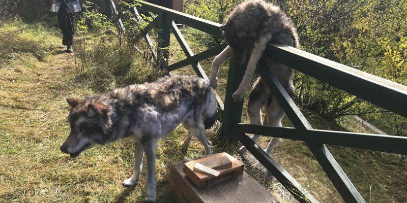 Dummy Wolves