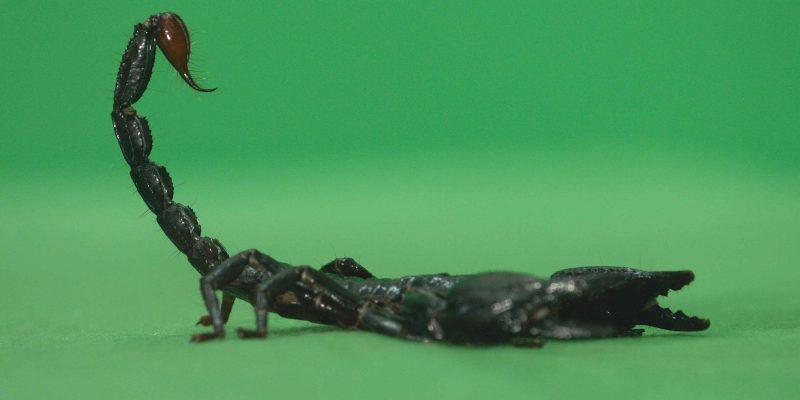 Green Screen Scorpio