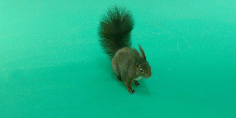 Green Screen Squirrel